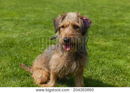 funny hairy dog, mixed spaniel dogs spaniel