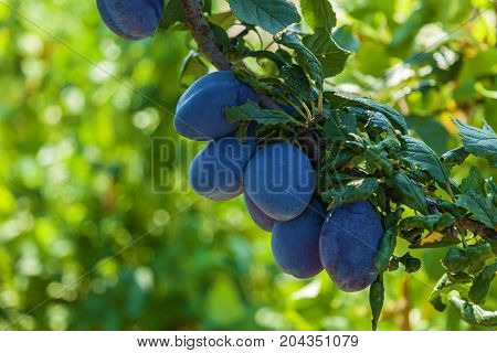 Ripe plums on the tree, fresh blue plums on branches