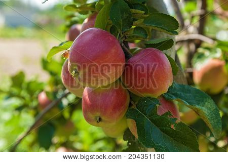 ripe apples on a branch, ripe apples hanging on a branch at orchard