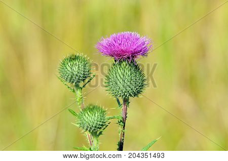 Carduus is a genus of flowering plants in the aster family, Asteraceae. Milk thistle, thistle.