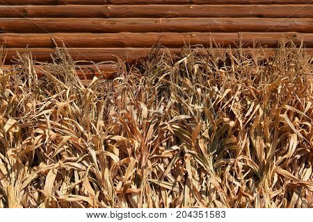 Row of dried corn stalks aagainst a log wall