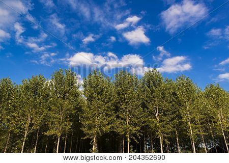 Poplars In Front Of A Cloudy Blue Sky