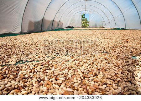 Solar drying process of pistachio nuts laid on the ground of a greenhouse Bronte Sicily