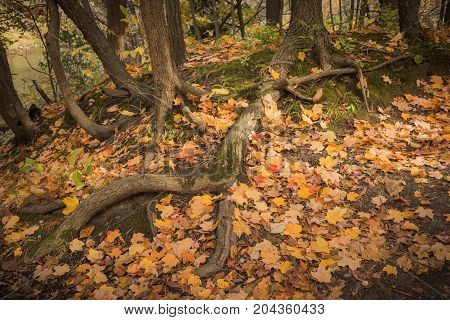 Fallen autumn leaves and trees root. Golden autumn in Humber River park Toronto Ontario Canada