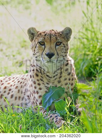 Cheetah with beautiful spots looking ahead with a blurred green background and space for text.