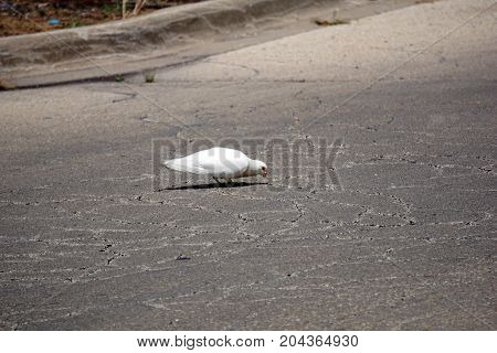 A white rock dove (Columba livia) pecks at the surface of a parking lot in Joliet, Illinois, during July.