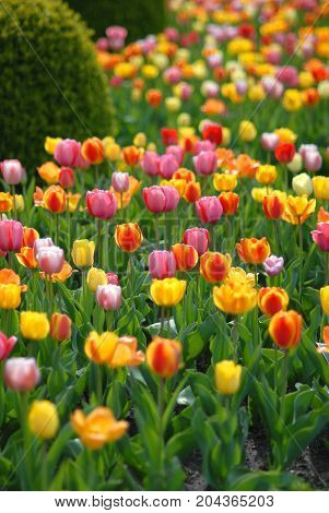 A row of brightly colored tulips in full bloom around Kansas City Missouri.