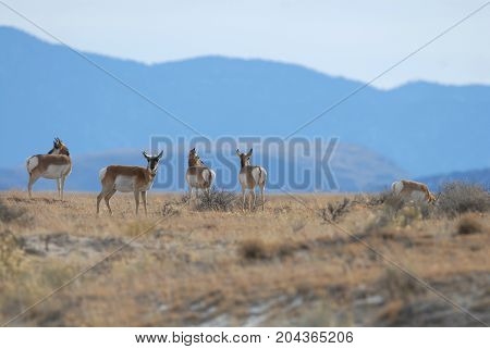 A small group of pronghorn from New Mexico with a large mountain range in the background.