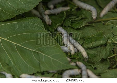 Silkworm To Creates A Silk Cocoon Of Yellow Fibers