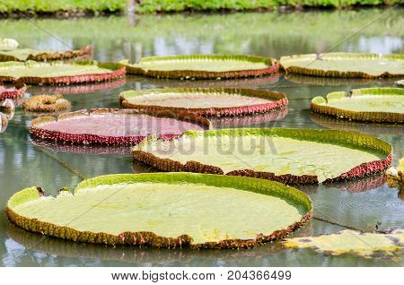 Victoria waterlily with giant leaves in a pond,decoration waterlily