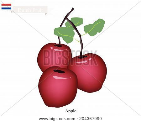 Dutch Fruit, Illustration of Red Apple. One of The Famous Fruits of Netherlands.