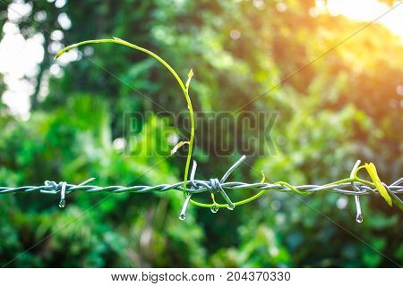 Green leaves creeping plants growing over barbed wired with green environment bokeh background. Outdoor at the daytime with bright sunlight on summer day. Shallow depth of field (dof) selective focus.