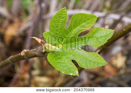 One green fig leaves. Ficus carica tree.