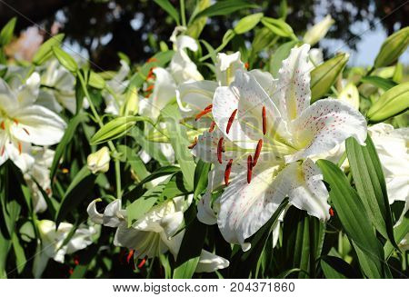 White flower of Lily in the garden.