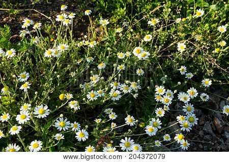 Meadow Of Officinal Camomile Flowers (matricaria Chamomilla)