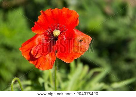 Red poppy flower on the green meadow