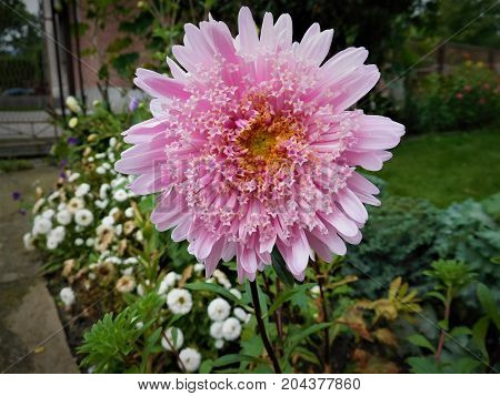 The asters belong most beautiful home flowers. It is many types of asters and here is one of them.