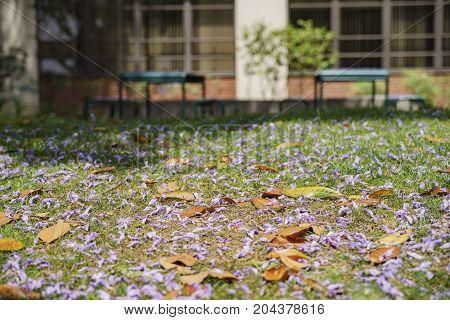 Jacaranda Blossom In University Of Southern California
