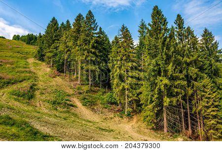 path through spruce forest on hillside. lovely summer landscape