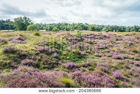 Pink en purple flowering heath in a hilly part of a National Park in the Netherlands. It is early in the morning in the late summer season. Rain is coming soon.