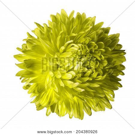 Yellow aster flower isolated on white background with clipping path. Closeup no shadows. Nature.