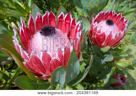Pink King Protea Plant