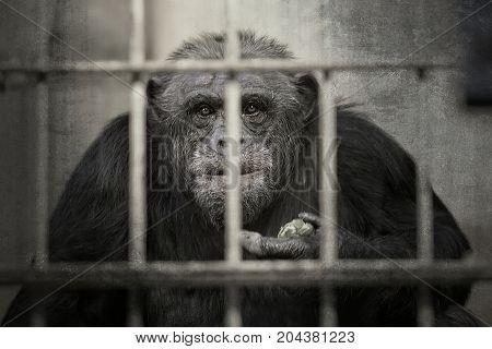 Chimpanzee in a captivity, a black and white portrait