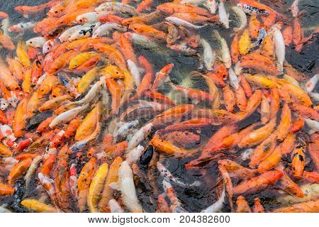 Red Fish And Gold Fish In Pond