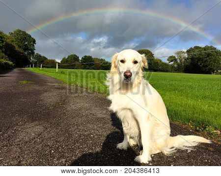 White golden retriever sitting down on a countryside road with grass and full rainbow in the background