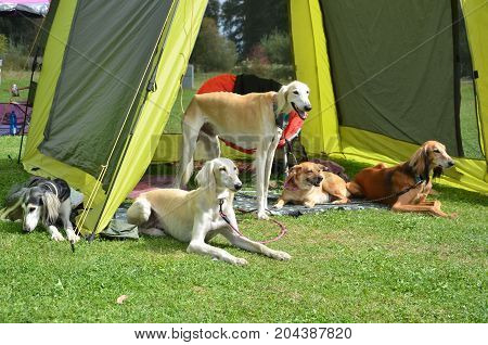 Pack of dogs wait under green tent during dog show