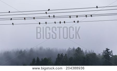 Group of swallows sitting on electric wires