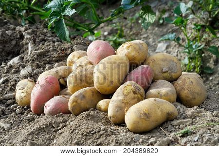 Freshly Dug Up Heap Of Red And Yellow Potatoes Lying On Soil.