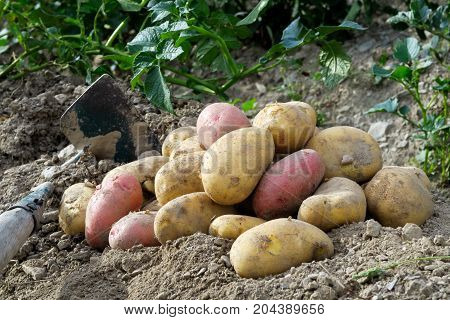 Freshly Dug Up Heap Of Red And Yellow Potatoes Lying On Soil Next To Hoe.