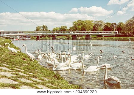 Beautiful Swans - Cygnus on the river side with bridge Piestany Slovak republic. Natural scene. Travel destination. Yellow photo filter.