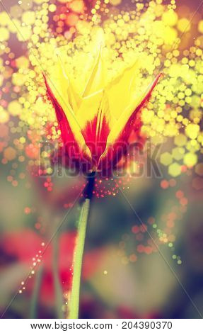 Single red-yellow tulip in the spring garden. Shimmering background. Natural theme. Red photo filter.