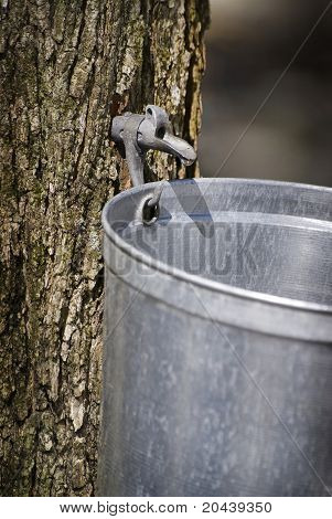 Droplet of sap flowing from the maple tree into a pail for make pure maple syrup poster