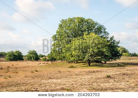 Oak trees in a heath field of a Dutch National Park early in the morning in the late summer season.