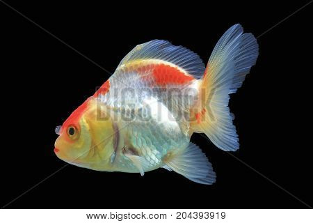 Beautiful Goldfish isolated on black background,Clipping path