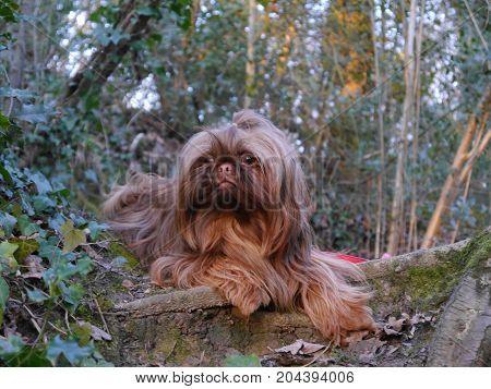 photograph of my Shih-tzu in the woods