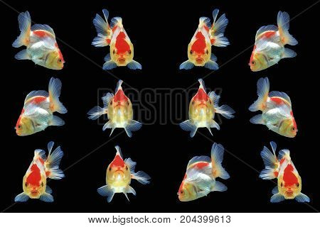 Group of Goldfish isolated on black background,Clipping path