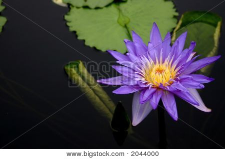 Beautiful purple waterlily and lilypad in a pond. poster