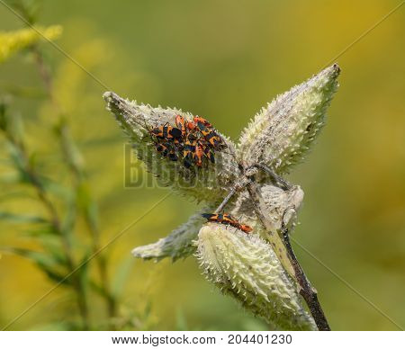 A colony of Milkweed Bugs (Oncopeltus fasciatus), a species of True Bugs, congregate on a seed pod of a milkweed plant in Kleinfeltersville, Pennsylvania, USA on a sunny afternoon.