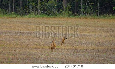 Two roe deers standing on a field