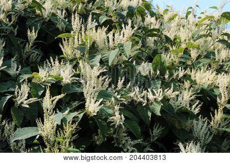 Fall blooming Japanese knotweed invasive species, horizontal aspect