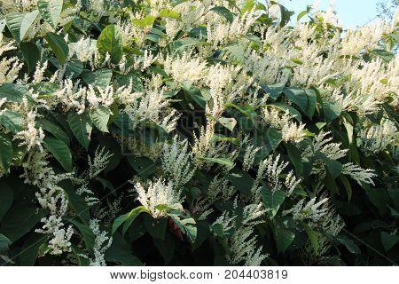 Autumn blooming Japanese knotweed invasive species, horizontal aspect