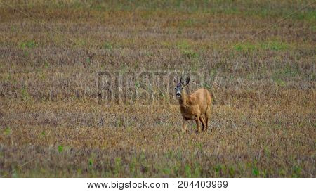 Roe deer standing on a colorful field