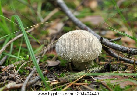 Lycoperdon Perlatum Or Common Puffball, Warted Puffball, Gem-studded Puffball, The Devil's Snuff-box