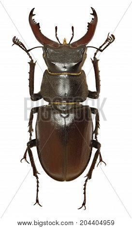 European Stag Beetle on white Background - Lucanus cervus (Linnaeus 1758)