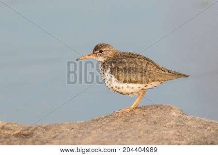 Spotted sandpiper on a rock on the shore of Meadowlark Lake WY