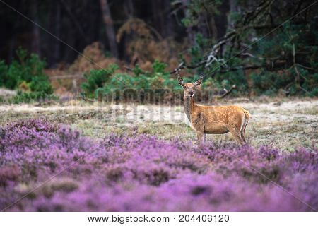 One Red Deer Hind In Moorland With Blooming Heather.